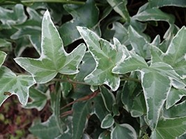 15 White Green Glacier Ivy Vine Cuttings Variegated Ivy Real Live Plant - $57.41