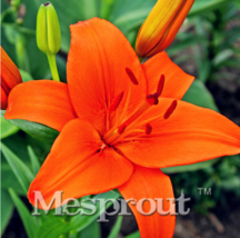 100 SEED ORANGE Lily Seeds, Cheap Perfume Lilies Seeds, Rare Color Flower - $4.99