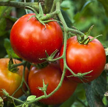 SHIP From US, 25 Seeds Stupice Tomato, DIY Healthy Vegetable AM - $21.99