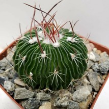 Beautiful Echinofossulocactus Cactus Cacti Succulent Live Plant Green Ga... - $33.43