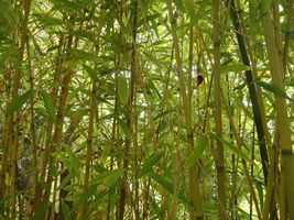 1,000+ Red margin bamboo seeds Phyllostachys rubromarginata tall privacy... - $83.98