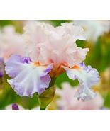 20 pcs Light Pink & Light Pink Iris tectorum Flower Seeds very lovely - $13.88
