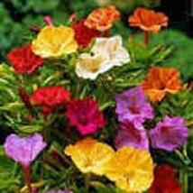 Four O'clock Marvel of Peru, 50 Seeds Beautiful Vivid Mulit Colored Bloom - $5.99