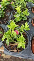 Baby Sun Rose FUCHSIA Live Plant - Aptenia Cordifolia Succulent  - $14.00