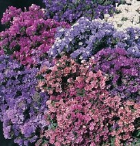 "50+ STATICE ""PACIFIC MIX"" FLOWER SEEDS / ANNUAL /  GREAT GIFT / DEER RES... - $4.89"