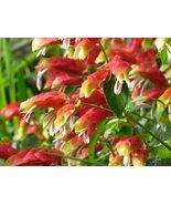 Starter Live Plant Justicia Brandegeana, Shrimp Plant - $17.99