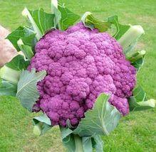 Purple Sicily Cauliflower Organic Vegetable Seeds 20 Seeds / Pack Broccoli Seeds - $5.90