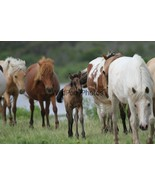 Chincoteague Pony Photo - Mares and 2019 Buckskin foal - Various Sizes - $7.50+
