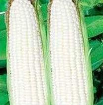 Corn, White, STOWELL'S Evergreen, Heirloom, 50 Seeds, Delicious N Sweet - $5.99