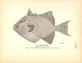 Rare 1884 Antique Fish Print ~ The Trigger-fish - $18.55