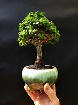 Perfect bonsai - Portulacaria afra - 16 year old For professionals Desig... - $123.84