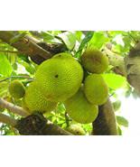 2017 New fresh seeds Tropical Rare seed fruit trees jackfruit seeds Pott... - $14.00