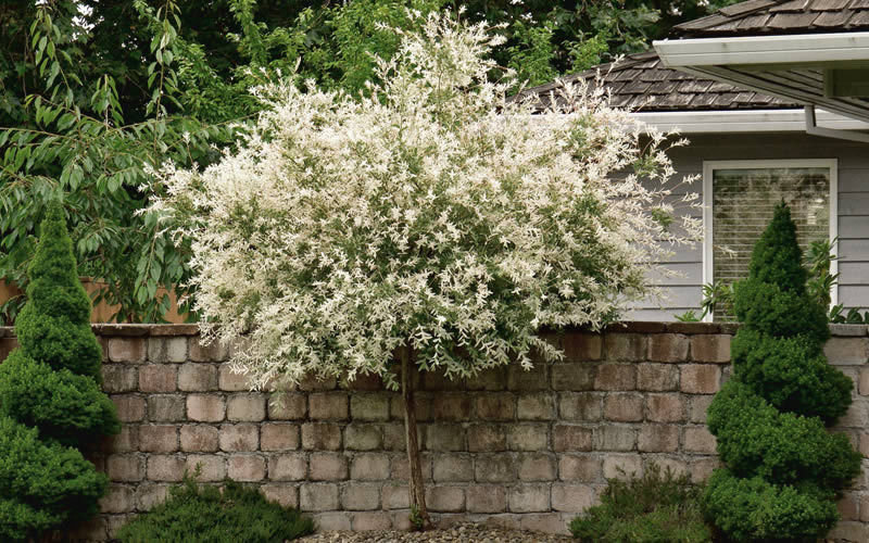 "Japanese Dappled Nishiki Willow 4"" pot shrub/tree"