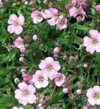 100 Pcs Seeds Rosea Gypsophila Elegans Flower -  RK - $6.00