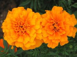 Orange Marigold Seeds, French Marigolds, Bulk Marigold Seed, Heirloom Se... - $20.41