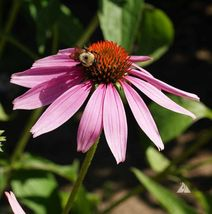 Purple Coneflower. 60800 seeds, or 1/2 LB  - $69.16