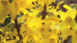 "Forsythia Lynwood Gold-""Golden Bells"" (Forsythia xintermedia 'lynwood') ... - $29.99"