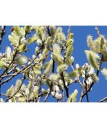 "10 (10-12"") - Pussy Willow Tree Cuttings - Easy to Root - Cut Flower / H... - $29.70"