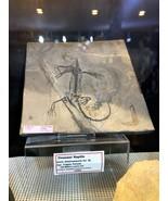 KEICHOUSAURUS FOSSIL HOME DECOR WALL DISPLAY DINOSAUR PIRATE GOLD COINS ... - $3,050.00