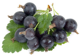 5 Jostaberry Plants -Ships Fully Rooted in Soil- 3 way Gooseberry/Curran... - £23.22 GBP