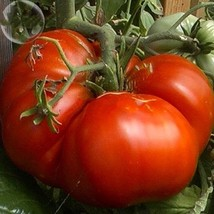 100 Seed Rare 'Champion' Giant Red Tomato, DIY Healthy Vegetable  DO - $8.99