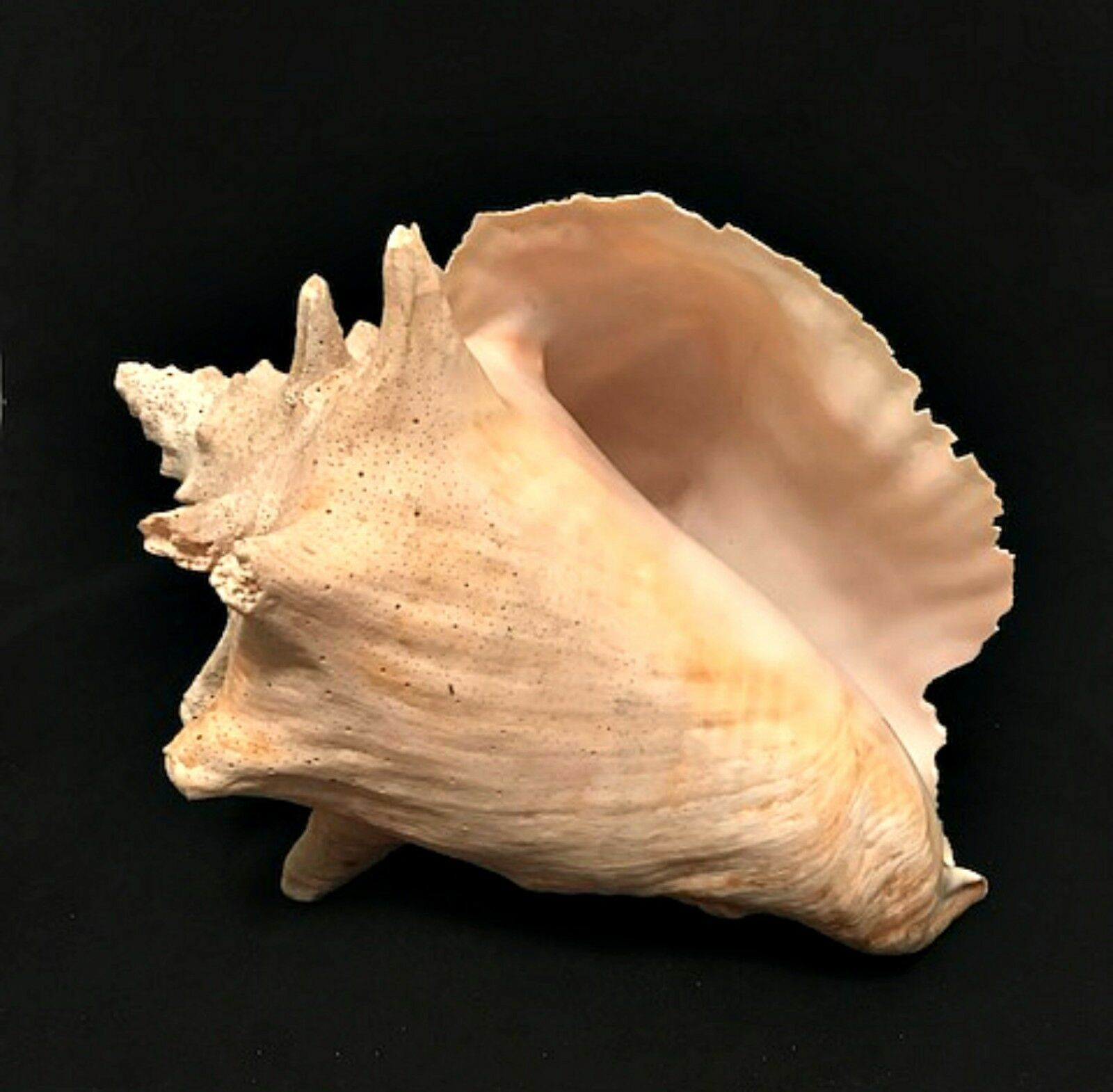 Primary image for Queen Conch Sea Shell White Natural Vintage Beach Seashell large 10 x 6 inches