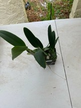 "4"" Pot. Golden Dancer 'NN' CATTLEYA Orchid Plant Pot BLOOMING SIZE 0408c image 2"