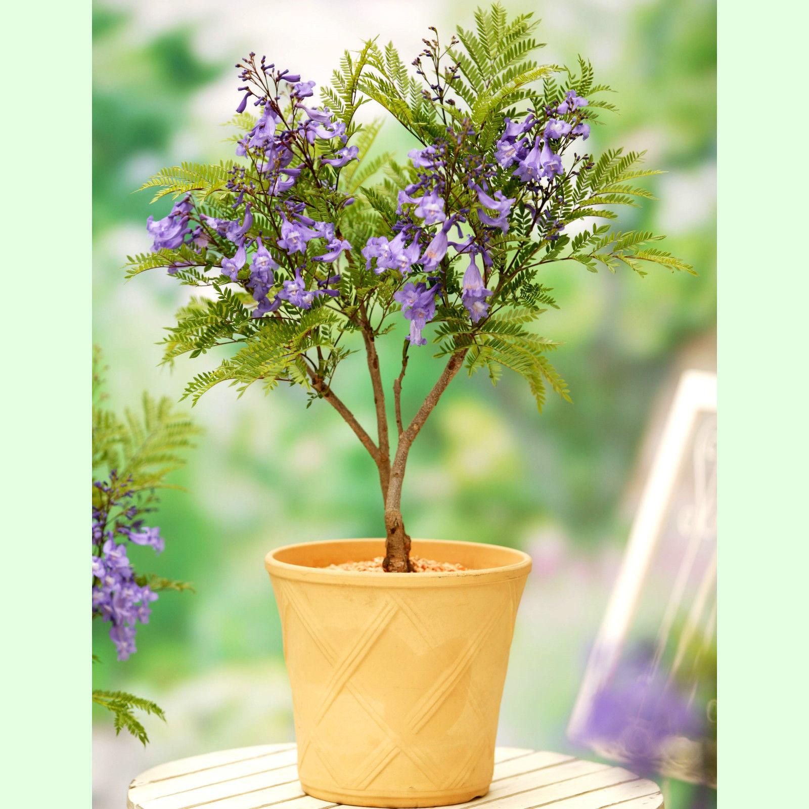 jacaranda mimosifolia bonsai seeds 100 and 30 similar items. Black Bedroom Furniture Sets. Home Design Ideas