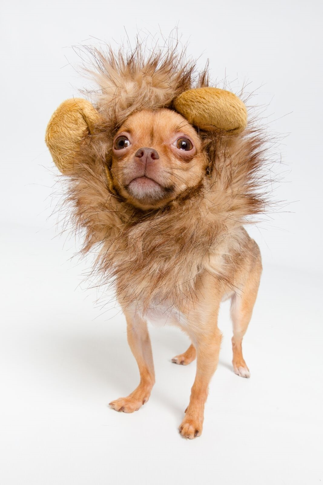 Lion Mane Cat Costume or Small Dog Costume - Pet Costumes by Pet Krewe