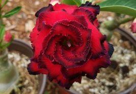 2 Rare Red Black Desert Rose Seeds Adenium Obesum Flower Perennial Garde... - $3.79