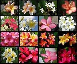10 Hawaiian Lei Tree Plumeria frangipani tip cuttings Rare Exotic Fragrant - $62.99