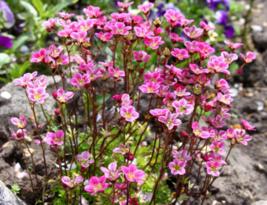 50 Pcs Seeds Saxifraga Arendsii Mossy Rockfoil Rose Robe Saxifraga Flowe... - $18.00