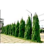 *UNCLE CHAN* SEED Polyalthia longifolia the ashoka tree Indian medicinal... - $4.00