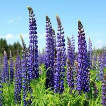 SHIP From US, 100 Seeds Perennial Lupine Seeds, Vegetable Seed AM - $42.99