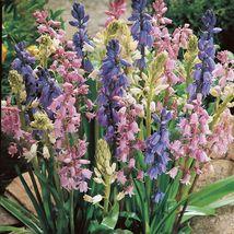 10 BULBS Spanish bluebell, Wood Hyacinth, Hyacinthoides hispanica Mix Color - $8.75