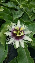 "ADULT Purple Passion Fruit~Possum Purple~Flowering Vine Edible 20"" Live plants - $55.36"