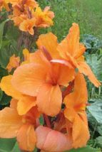 Canna Tangerine Tangelo big flowers Medium height Lily green 2 bulb/rhizome - $29.45