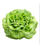 1 gram or 1,000 OKAYAMA Butterhead Japanese Lettuce seeds, Asian vegetab... - $15.00