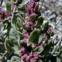 SHIP FROM US 200 Shadscale Saltbush Seeds (Atriplex confertifolia) , UTS04 - $19.98
