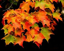 Sugar Maple  (Acer saccharum) image 3
