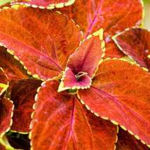 Coleus- Fairway Orange Seeds. (200 seeds) Excellent foliage, shade lovin... - $11.99