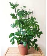 "HS Garden - 100 pcs Rare ""Rhaphidophora Tetrasperma"" Bonsai Anti Radiation - $4.44"
