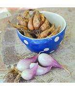 Organically Grown French Grey Shallots for Planting (1/2 Lb) - $9.85