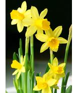 5x7 Original Print Sunny Yellow Daffodils Floral Photo - $13.00