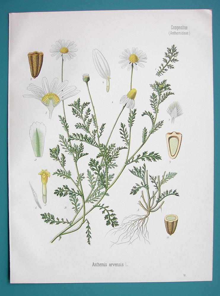 Primary image for CORN CHAMOMILE Medicinal Anthemis Arvensis - Beautiful COLOR Botanical Print