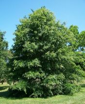 Pin Oak Tree-(quercus palustris) image 5