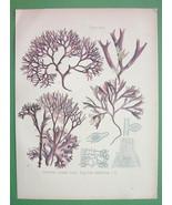 IRISH MOSS Pink Plant Chondrus Crispus - COLOR Litho Botanical Print Kohler - $19.09