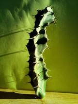 Euphorbia grandicornis - 1 Green euphorbia grandicornis Cutting - $38.30