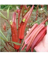 Red okra seeds for home garden from sri lanka ceylon products bonsai pla... - $4.99