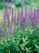 100 Seeds - Salvia Apiana Sage Jardin Herb - $8.99